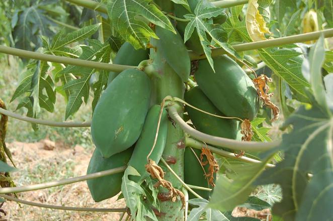 hipoalergiczni-papaja-drzewo