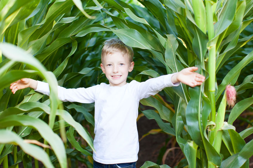 47241775 - little boy having fun at corn maze at pumpkin patch at autumn