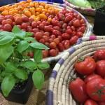 Smaczne, organiczne pomidory