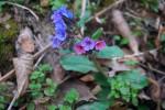 hipoalergiczni-miodunka-macerat-marzena-andrzejewska-kwiat