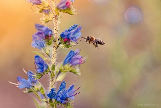 Pszczoła na niebieskim kwiecie - Hipoalergiczni